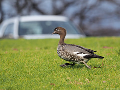 Australian Wood Duck on the run (VS Images) Tags: wood bird birds duck australian running olympus omd australianbirds em1 40150mm 210mm mc14 mzuiko