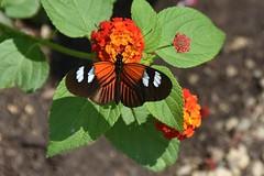 Doris Longwing butterly (stevelamb007) Tags: chicago flower butterfly nikon chicagobotanicgarden 18200mm dorislongwing heliconiusdoris stevelamb d7200