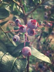Blueberries (Yang Hsin) Tags: pink fruit countryside farm crop biei