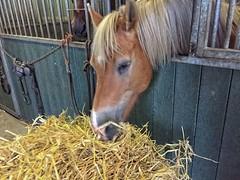 Happy Sarah (gill4kleuren - 12 ml views) Tags: life horse me sarah fun outside happy running meal gill saar paard haflinger