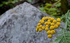 yellow flower and a rock (Mr.  Mark) Tags: plant flower macro nature yellow rock stone photo stock markboucher