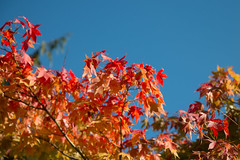 Red Acer (oandrews) Tags: blue autumn red sky plants sun sunlight plant nature leaves yellow gardens garden outside outdoors leaf maple unitedkingdom outdoor yorkshire acer sunlit harrogate harlowcarr autumnal northyorkshire rhs gbr