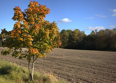 Maple (Steffe) Tags: autumn tree fall maple stitched hst