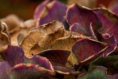 293/365: Over but not out (judi may) Tags: autumn macro petals hydrangea day293 day293365 octoberamonthin31pictures 365the2015edition 3652015 20oct15