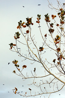 Tree Leaves and Birds 10292015