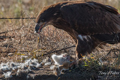 Juvenile Bald Eagle dines on rabbit for breakfast