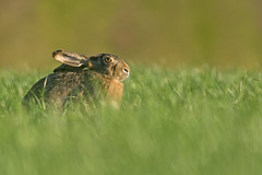 Brown Hare (Wouter's Wildlife Photography) Tags: nature animal mammal rodent hare wildlife billund brownhare lepuseuropaeus pattedyr
