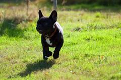 DSC_0548 (alexchabrier) Tags: chien french bulldog franais bouledogue
