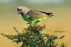 JHG_9891-b Unexpected surprise ! Brown Parrot, Masai Mara, Kenya. (GavinKenya) Tags: africa wild nature animal june john mammal photography gavin photographer kenya african wildlife july grand safari dk naturephotography kenyasafari africansafari 2015 safaris africanwildlife africasafari johngavin wildlifephotography kenyaafrica kenyawildlife dkgrandsafaris africa2015 safari2015 johnhgavin