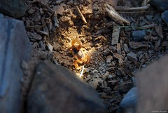 Scorpion (Mathias Dezetter) Tags: scorpio scorpion maroc arachnide invertbr