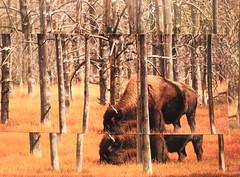 Buffalox2 Take 1 (quartz daum) Tags: trees collage buffalo courtney bison buffaloes daum