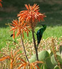 Malachite sunbird (Nectarinia famosa) (Linda DV) Tags: africa travel geotagged lesotho malealea southernafrica 2015 passeriformes malachitesunbird geomapped nectariniafamosa nectariniidae lindadevolder picmonkey