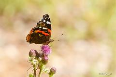 Schmetterling 121 (rgr_944) Tags: macro butterfly tiere natur pflanzen blumen papillon insekten schmetterling canoneos60dcanoneos70d rgr944
