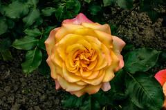 Rose (betadecay2000) Tags: plants plant flower green outdoor pflanze rosen grn beet blume rosebush rosengarten dornen dorn beete blhen rosenstrauch zierpflanze rosenbusch