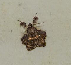 Sosextra grata (Odonata457) Tags: bonito honduras lodge pico erebidae atlántida calpinae atlã¡ntida sosextragrata