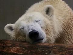 Polar Bear ANORI, still so tired ;-) explored (BrigitteE1) Tags: sleeping portrait animal closeup germany de mammal deutschland zoo europe sleep explore polarbear mde e tired asleep predator wuppertal ijsbeer tier  eisbr ursusmaritimus  oursblanc onexplore nanuq isbjrn ursopolar osopolar sugetier jkaru  zoowuppertal  jegesmedve explored raubtier isbjrn orsopolare jkarhu inexplore kutupays  nanoq sbjrn  niedwiedpolarny medvdledn  polarnimedvjed baltasislokys   anori polrlcis   isbier
