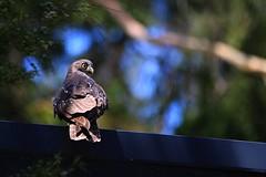 Barking Owl (hopenfox) Tags: bird healesville owl sanctuary barking ninoxconnivens