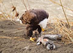 Bald Eagle (jerrygabby1) Tags: