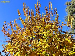 yellow leaves (archgionni) Tags: trees sky plants nature leaves yellow foglie branches natura giallo cielo rami totalphoto