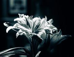 DSC_9346-3 (louis_mancuso) Tags: christmas flowers winter flower macro fleur nikon lily bokeh stargazer lilies micro fleurdelis studiolighting macrophotography microphotography 2015 stargazers d7000 winter2015 christmas2015 christmastree2015