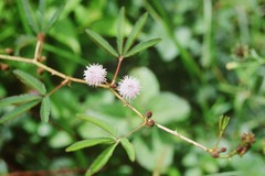 """Leg.-mimos., MIMOSA PUDICA L._par_Lucile.jpg • <a style=""""font-size:0.8em;"""" href=""""http://www.flickr.com/photos/134534957@N02/23917045391/"""" target=""""_blank"""">View on Flickr</a>"""