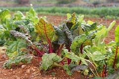 Blettes (Marjolaine) Tags: blettes bledas horta huerta jardin pedreguer espagne spain