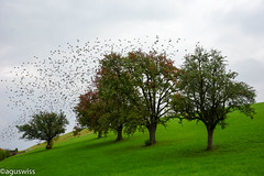 there goes the summer (aguswiss1) Tags: theregoesthesummer birds nature summer fall herbst sommer vgel schwarm swarm natur draussen bume pflanzen grn green