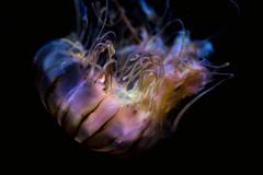 JELLY (photosic_kw24) Tags: birchaquarium lajolla california underwater seacreatures aquarium