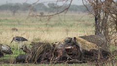 _MG_0532 (esevelez) Tags: tanzania africa serengueti serengeti animales animal animals parque nacional national park nature naturaleza hiena hyena