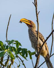 Yellow Billed Hornbill, Tockus leucomelas (dunderdan77) Tags: satara southafrica nikon tamron wildlife krugernationalpark beak tockusleucomelas