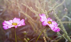 Our Daily Challenge: Pair (Sue90ca Glorious Autumn) Tags: canon 6d odc pair wildflowers