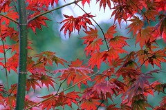 Acer palmatum (Mah Nava) Tags: acer acerpalmatum ahorn maple japanesemaple autumn herbst leaves bltter mapleleaves red rot