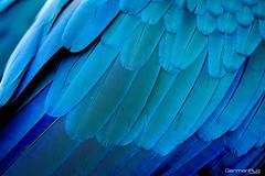 Blue feathers (German Ruiz Photography) Tags: fujifilm fujinon 400mm xpro2 baru colombia