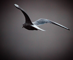 """ Mwe in the mist "" (Kalbonsai) Tags: meeuw mwe gull mist flightshot nikon d5100 300mm vogel outdoorphotography naturshot dreilndersee gronau germany nebel"