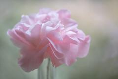 Camellia (glendamaree) Tags: camelia pink spring nature macro nikon d750 nofilter naturallight camellia bokeh blur dreamy soft