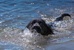 miles_0 (bmullaney1) Tags: black labrador dog retriever lab