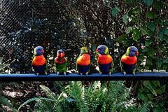 Beautiful Rainbow Lorikeets (--Anne--) Tags: rainbow lorikeet lorikeets beautiful colorful bird birds nature animals wildlife cute pretty