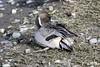 Northern Pintail (David Badke) Tags: colwood bc bird