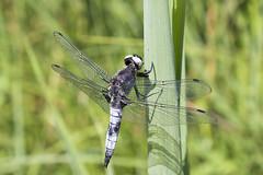 Scarce Chaser (RuudVisser) Tags: barmsee bavaria bavarianalps bayerischealpen bayern bruinekorenbout canoneos70d deutschland dragonfly germany insect libelle libellulafulva scarcechaser spitzenfleck
