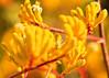 Yellow kangaroo paw (2 of 3) (Daniela Parra F.) Tags: kangaroopaws plants native nativeplants garden flowers grownatives nativegarden australia