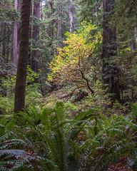 Prairie Creek Redwoods 10 (ssiegel16) Tags: prairiecreek redwoods