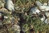 Fumaria capreolata, Gilestone Beach, October 1975