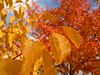 Cornus sanguinea ´Midwinter Fire´ (Jörg Paul Kaspari) Tags: konz könen amberbaum liquidambar styraciflua liquidambarstyraciflua herbstfärbung rot red autumncolor autumn fall herbst cornussanguinea´midwinterfire´ cornus sanguinea ´midwinter fire´ herbstfeuer autumnfire blatt leaf leaves blätter