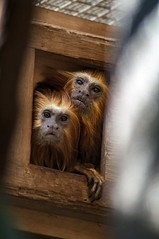 What Are You Looking At? (Miles McNamee) Tags: animal zoo dczoo monkey