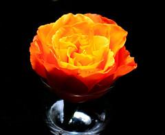 Apricot Rose (GalexyStudios) Tags: flower vase light apricot color