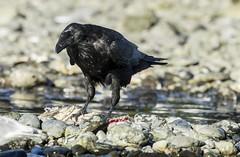 Raven's Eye View (Rick Derevan) Tags: alaska kodiak raven corvuscorax kodiak2016 kodiaktrip2016 places