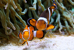 Sheer aNEMOsity (Ger Bosma) Tags: 2mg175361filteredv2 driebandanemoonvis amphiprionocellaris ocellarisclownfish falseperculaclownfish commonclownfish falscherclownfisch orangeringelanemonenfisch poissonclownàtroisbandes poissonclownocellé pezpayaso falsopezpayasopercula clownfishes fish fishes clownfish