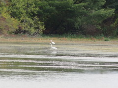 Two Of Three Egrets At Dead Creak Wildlife Management Area (amyboemig) Tags: addison vt vermont deadcreek wildlife management area wetland greategrets white egret wading
