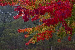 Fiery Red Maple (brucetopher) Tags: red orange leaf leaves foliage fall autumn changeofseason season brilliant glow fire fiery heat hot warm color colorful colors nature