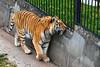 Kaliningrad_Zoo_2011_06_43 (Фото Москвы Moscow-Live.ru) Tags: тигр